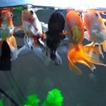 金魚を飼うための5つの必須アイテム