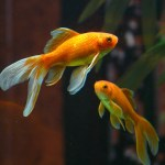 Do you know this goldfish? コメット