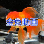 ただただ金魚が泳いでいる動画を集めた記事