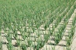 Hành được trồng theo lối