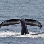 behind THE coveって?反捕鯨・捕鯨問題をわかりやすく解説