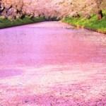 弘前公園の桜開花予想、見ごろはいつごろ?【2019年】