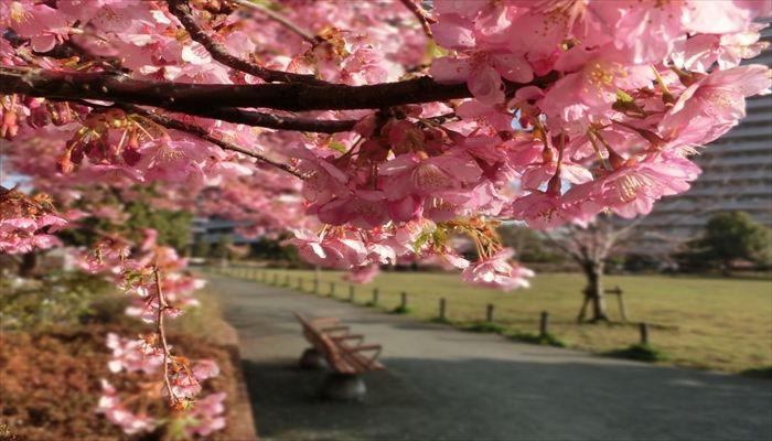 大岡川 桜 花見 まったりポイント 穴場