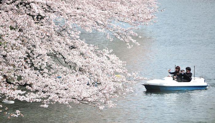 大岡川 開花状況