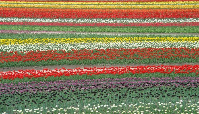 春にすること 春にしたいこと 春の遊び チューリップ畑