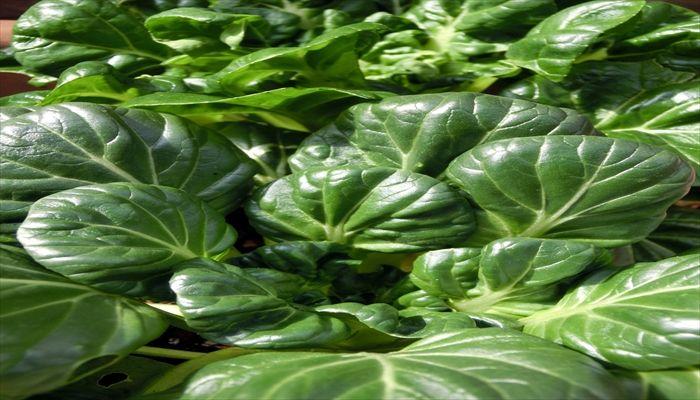 葉野菜 保存 タアサイ