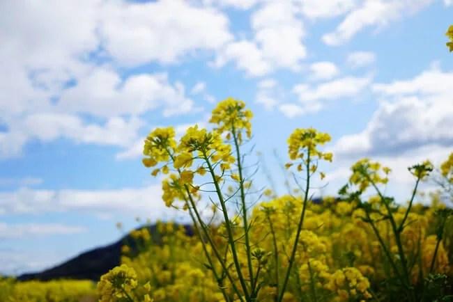 菜の花と空と雲