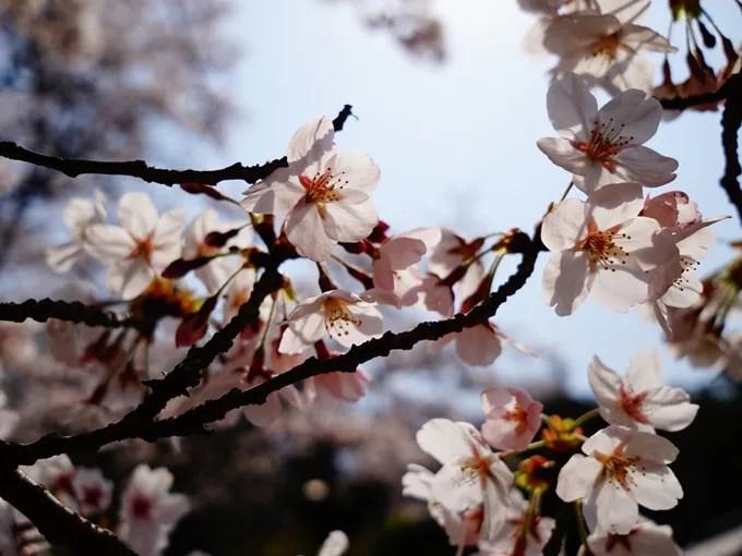 桜(透かし)