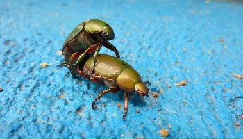 Green beetles fucking