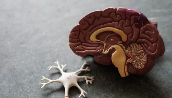 model of brain for post about Sapiosexuality