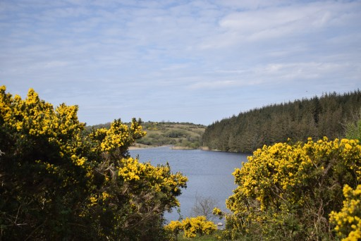 Gorse bushes near a lake. There are trees on the hills in the background. The sky is blue with whispy white clouds.