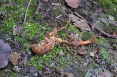 2014/03/23 東山 オオセミタケ Ophiocordyceps heteropada