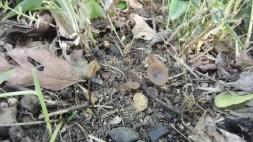 2014/05/02 庄内川 キツネノワン Ciboria shiraiana(右)とキツネノヤリタケ Scleromitrula shiraiana(左)