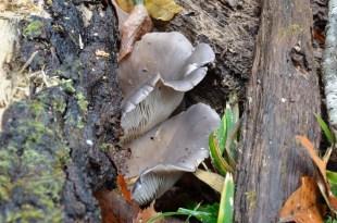 2014/12/20 瓜生山 ヒラタケ Pleurotus ostreatus