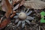 2014/12/20 瓜生山 ツチグリ Astraeus hygrometricus