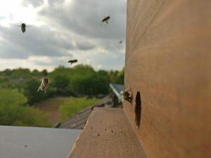 Anflug ans Bienenloch
