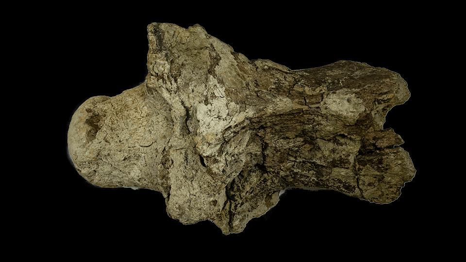 トリケラトプス 頸椎