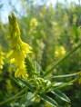 Melilotus officinalis - Kokulu yonca