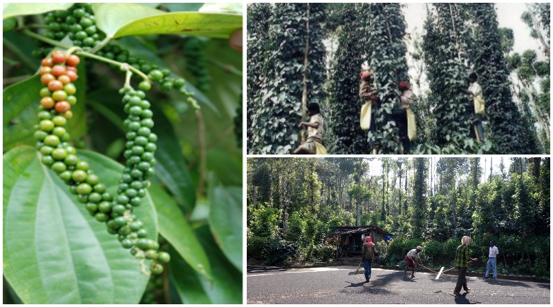 GAP – Harvest Management of Black Pepper