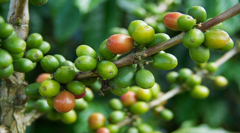 Arabica Coffee Harvest : Key Points to remember – 1
