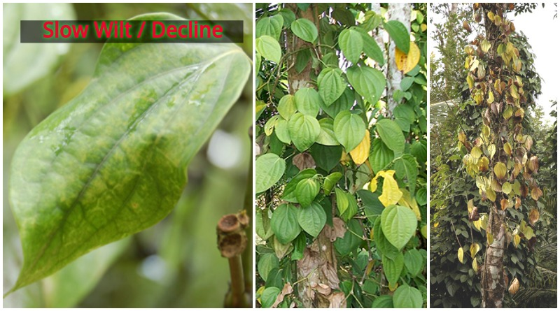GAP – Effects and management of Slow decline in pepper