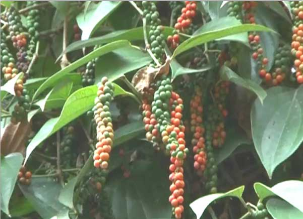 Zion Mundi: Improved Black Pepper Variety from Kerala
