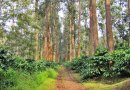 ಮಲೆನಾಡಲ್ಲಿ ಆತಂಕ ಸೃಷ್ಟಿಸುತಿರುವ ಕಾಫಿ ಬೆಳೆಗಾರರ ನೆಚ್ಚಿನ ಸಿಲ್ವರ್ ಮರ
