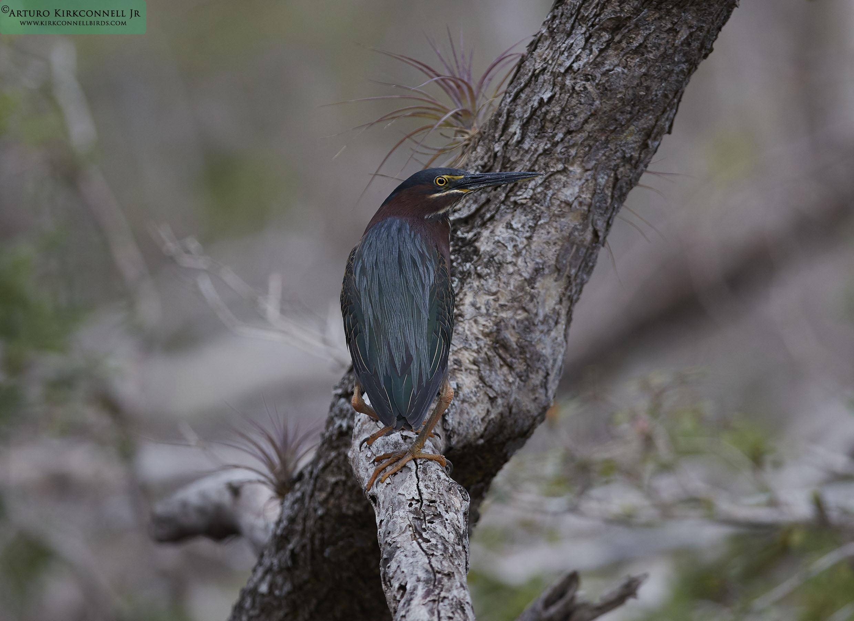 Green Heron - Cayo Coco