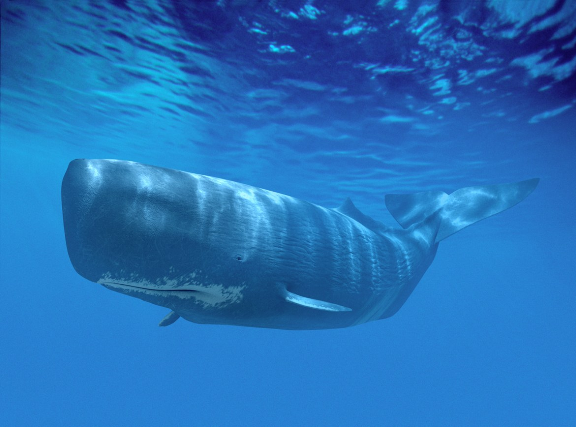 sperm whale floating near the surface of the ocean