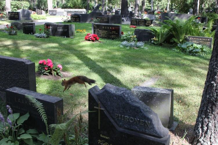 Orava hyppaa hautakiven päältä Joensuun hautausmaalla.
