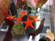 Sea stars and sea cucmbers