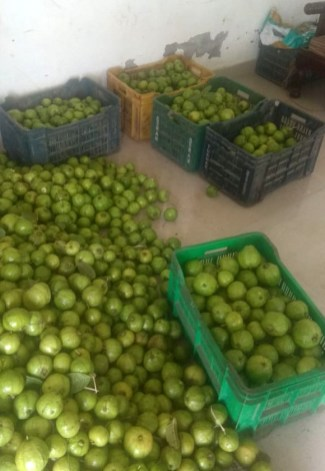 Guava harvest