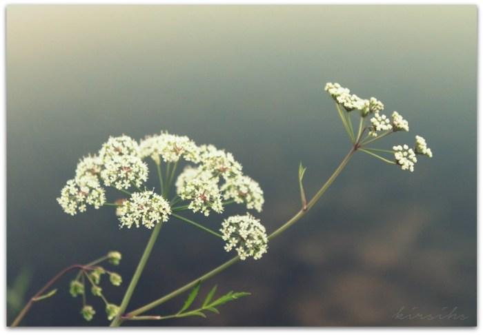 100 vuohenputki kirsihs ©kirsihallaseppala