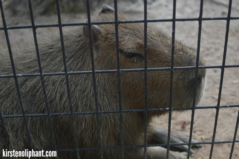visit gulf coast zoo capybara