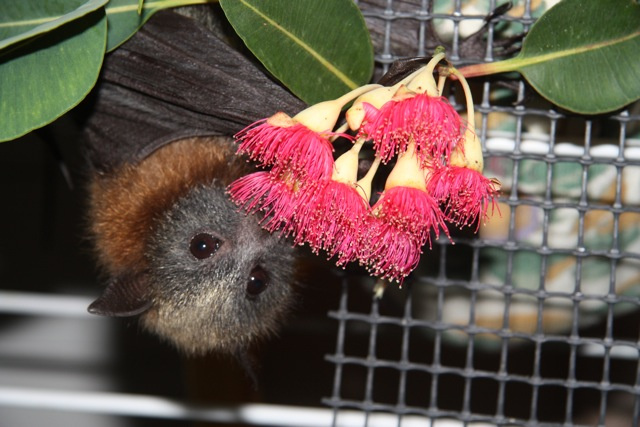 Close up of a flying-fox, eating the red blossom of a eucalypt