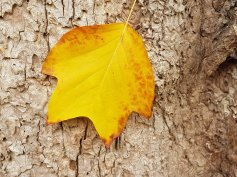Liriodendron tulipifera in Autumn colour. Leaf and bark .jpg