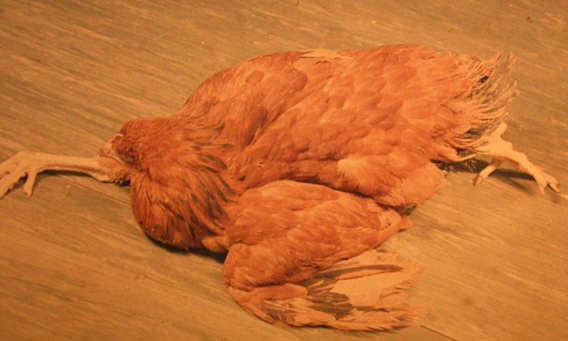 Marek-féle begségben szenvedő állat