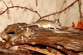 az egerek jelenléte viszont bosszantó
