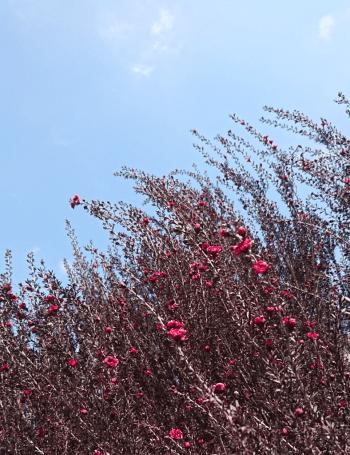 ギョリュウバイの枝