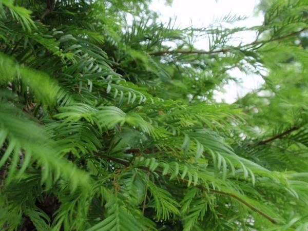 メタセコイヤの葉