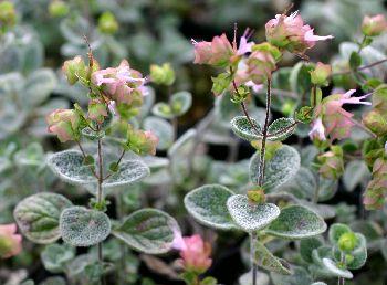 オレガノ・ディクタムナスの花
