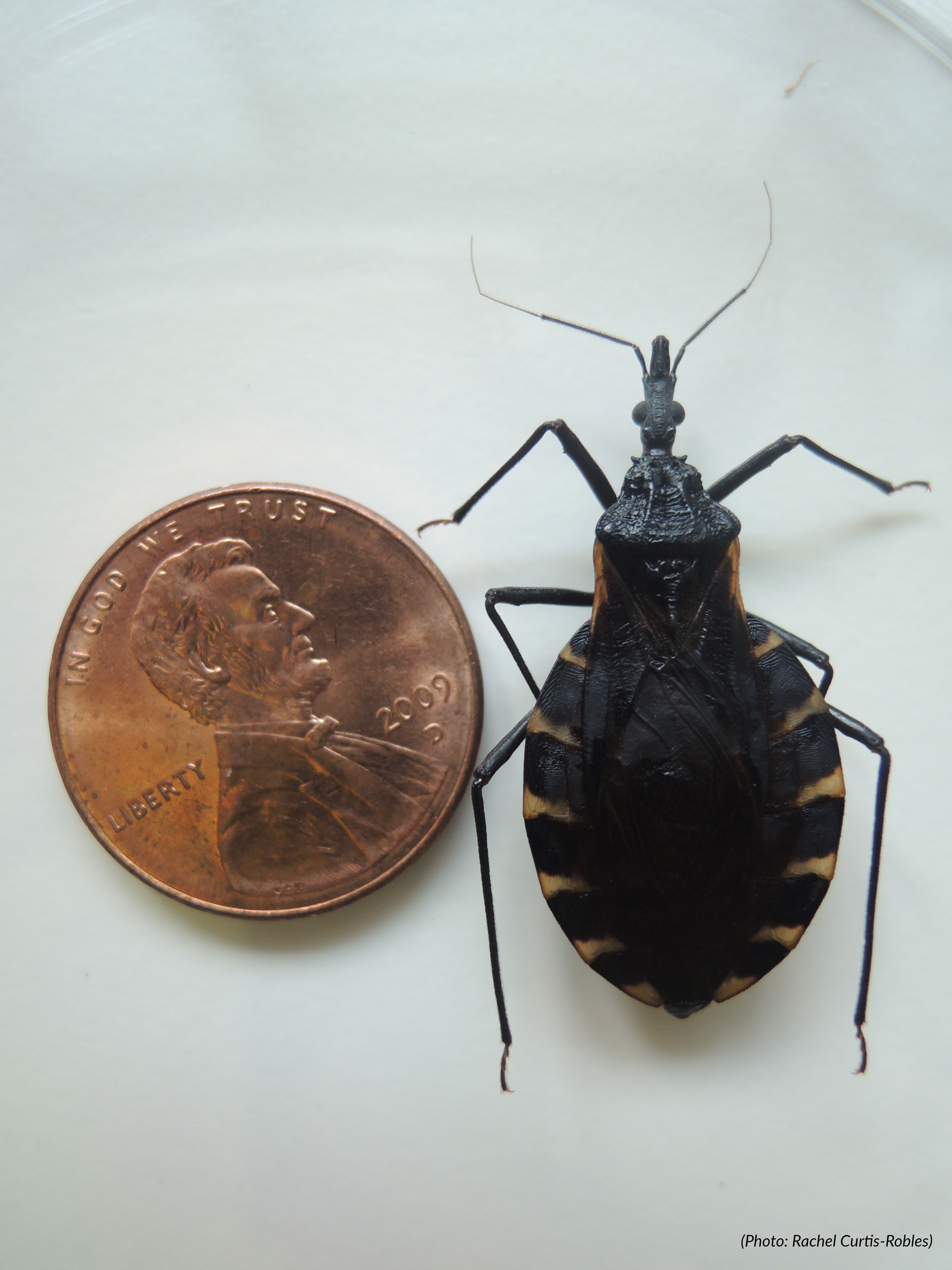 Kissing Bugs And Chagas Disease In The U S