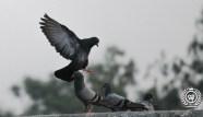 Pigeon_India