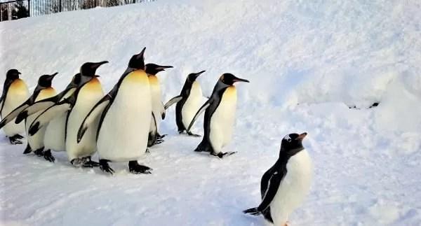 冬の旭山動物園 ペンギンの行進