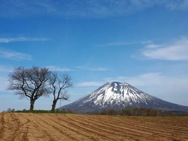 【ニセコ町】双子のサクランボの木