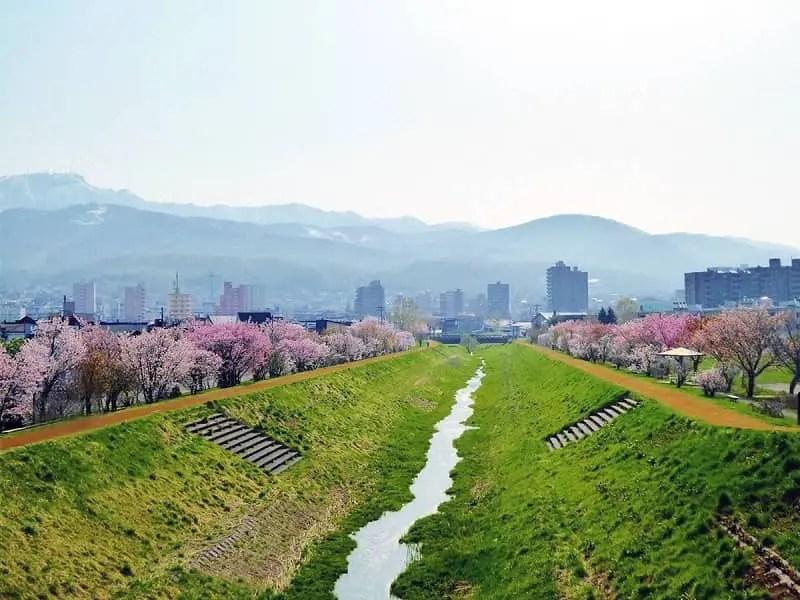 軽川桜づつみ[軽川緑地](がるかわ)の桜