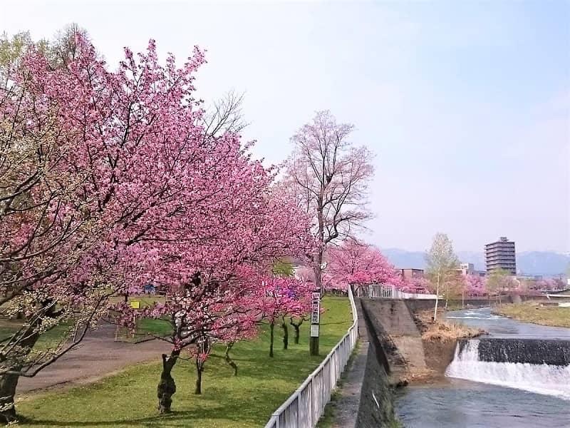 琴似発寒川緑地の桜