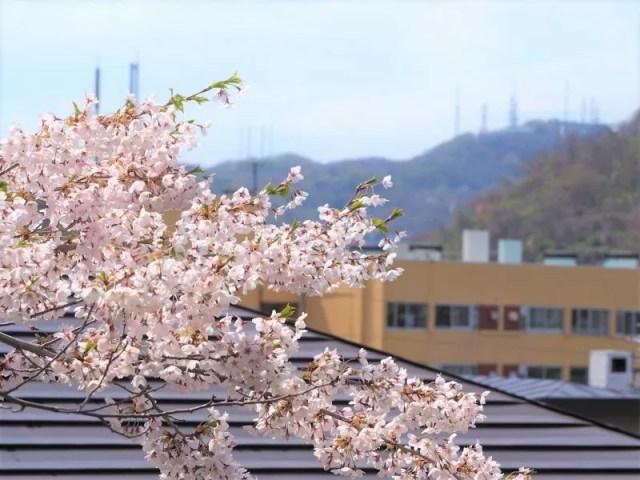 母恋富士下桜並木の桜情報