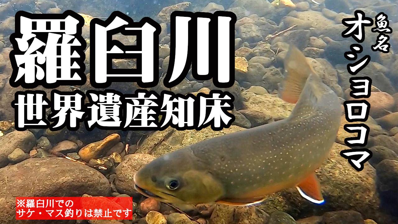 【世界遺産知床】羅臼川のオショロコマ調査【絶滅危惧種】