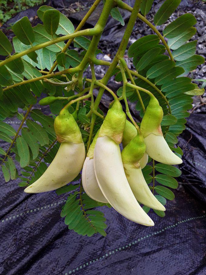 Agatti Blooms (Agatipoove in Malayalam, Agasthya Phule in Konkani, Heta or Hadgyache Phule in Marathi, Gaach Munga Phule in Hindi, Sesbania Grandiflora inflorescences)